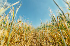Wheat field. Ears stretching to the sky in a wheat field in Siberia Royalty Free Stock Image