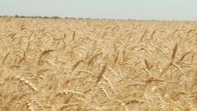 Wheat field Ears of wheat and bright sunny day stock footage