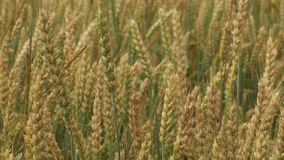 Wheat field Ears of wheat and bright sunny day. Rich harvest. Shallow depth of field stock footage