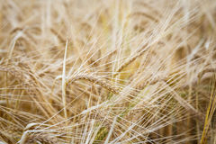 Wheat field. Ears of wheat close up. Background of ripening ears of meadow wheat field. Rich harvest concept. Stock Photography