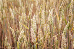 Wheat field. Ears of wheat close up. Royalty Free Stock Photography