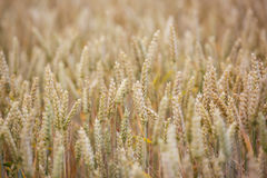 Wheat field. Ears of wheat close up. Royalty Free Stock Images