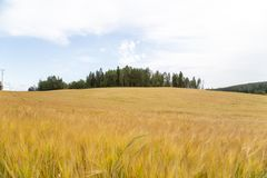 Wheat field for editing image. royalty free stock photos