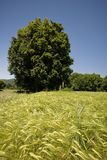 Wheat field eith tree in background Royalty Free Stock Photography