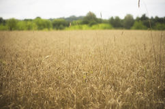 Wheat field on evening Royalty Free Stock Photo