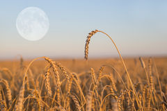 Wheat field at the evening Royalty Free Stock Photo