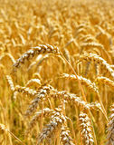 Wheat field in the evening sun or sunset. Golden light and selective focus of a wheat ear. Agriculture theme stock photography