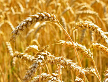 Wheat field in the evening sun or sunset. Golden light and selective focus of a wheat ear. Agriculture theme royalty free stock photo
