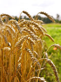 Wheat field in the evening sun or sunset. Golden light and selective focus of a wheat ear. Agriculture theme royalty free stock image