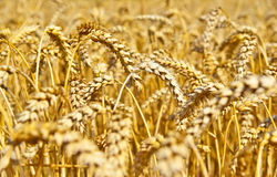 Wheat field in the evening sun or sunset. Golden light and selective focus of a wheat ear. Agriculture theme stock image