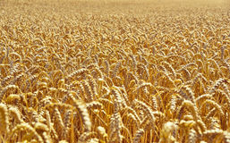 Wheat field in the evening sun or sunset. Golden light and selective focus of a wheat ear. Agriculture theme stock photos
