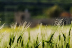 Wheat field in evening sunlight Stock Photo
