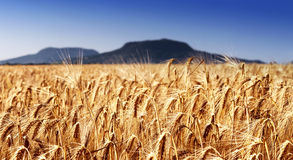 Wheat field at extinct volcanoes Royalty Free Stock Photography