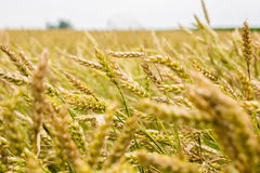 Wheat Farm Field. Close up of Indiana wheat crop with shallow depth of field Royalty Free Stock Image