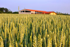 Wheat field and farm house Stock Images
