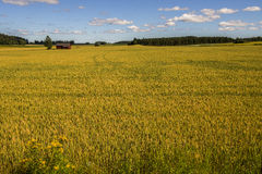 Wheat Field and Farm. Yellow wheat field and farm in Finland Stock Images