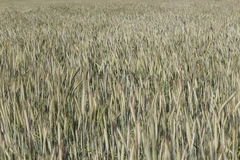 Wheat field farming landscape Stock Photos