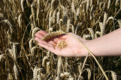 A wheat field and a female hand holding wheat. Royalty Free Stock Photos
