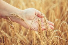 Female hand touching wheat spikelets.