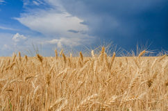Wheat field. Wheat filed on the back of dramatic pre-storm sky Stock Image