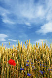 Wheat field with flowers. Beautiful wheat field almost ready for harvest under blue sky with some clouds Royalty Free Stock Photo