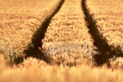 Wheat field of focus as a background stock photo