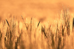 Wheat field of focus as a background Royalty Free Stock Image