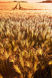 Wheat field of focus as a background Stock Photos