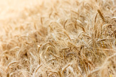 Wheat field with focus in foreground Stock Image