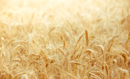 Wheat field with focus in foreground Royalty Free Stock Image