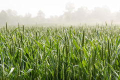Wheat field on Foggy Morning Stock Photos