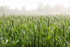 Wheat field on Foggy Morning Stock Photos