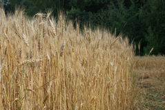 Wheat field in a forest. Right field cleared Stock Images