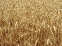Wheat field fragment Royalty Free Stock Images