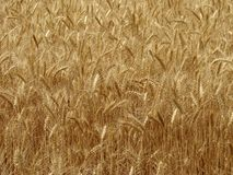 Wheat field fragment Stock Image