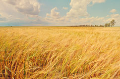 A wheat field Royalty Free Stock Photos