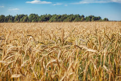 A wheat field Royalty Free Stock Images