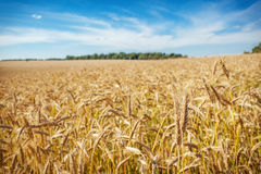 A wheat field Royalty Free Stock Image