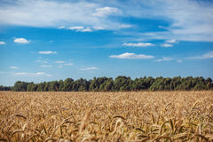 A wheat field Royalty Free Stock Photography