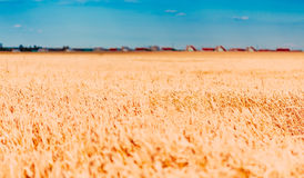 Wheat Field, Fresh Crop Of Wheat. Selective Focus On Open Apertu Royalty Free Stock Photos