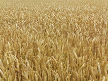 Grown wheat field Royalty Free Stock Image