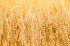 Wheat field with fully ripe spikelets Royalty Free Stock Photography