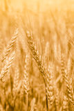 Wheat field with fully ripe spikelets Royalty Free Stock Images