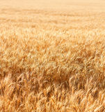 Wheat field with fully ripe wheat Stock Photography