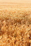 Wheat field with fully ripe wheat. Outdoors Royalty Free Stock Photo