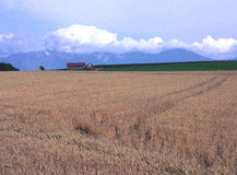 A wheat field of Furano Stock Image