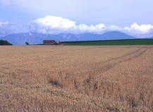 A wheat field of Furano Stock Image