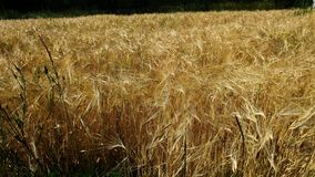 Wheat field. This is the future bread. royalty free stock photography