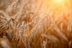 Wheat field with a glint of the sun. Golden ears of wheat or rye. Whole grains close-up. The idea of a rich harvest. Label design stock photography