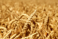 Wheat on the field Royalty Free Stock Photo